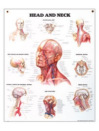 "Head and Neck Chart 20"" x 27"" Photo"
