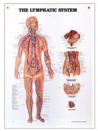 "Lymphatic System Chart 20"" x 27"" Photo"